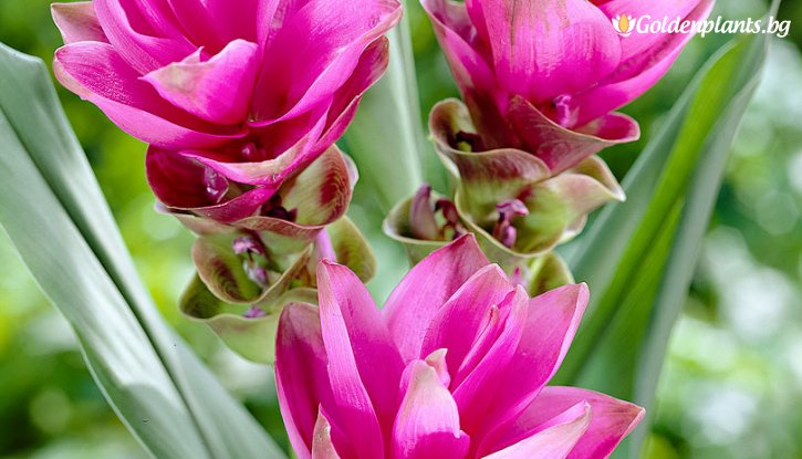 Снимка Куркума розова / Curcuma alismatifolia pink /