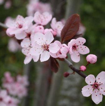 Червенолистна слива /Prunus x cistena/