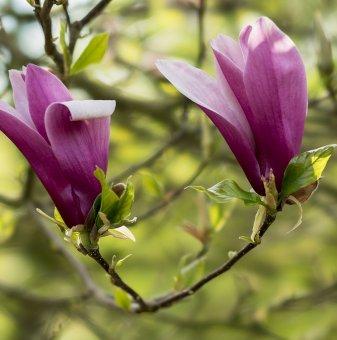 Магнолия Орхидея / Magnolia ORCHID/