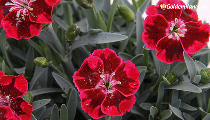 Снимка Карамфил Diantica Velvet /Dianthus Diantica Velvet/