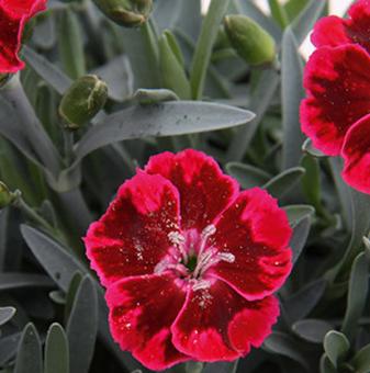 Карамфил Diantica Velvet /Dianthus Diantica Velvet/..