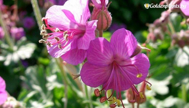 Снимка Здравец червен / Geranium sanguineum /