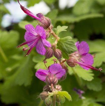 Здравец червен / Geranium sanguineum /...