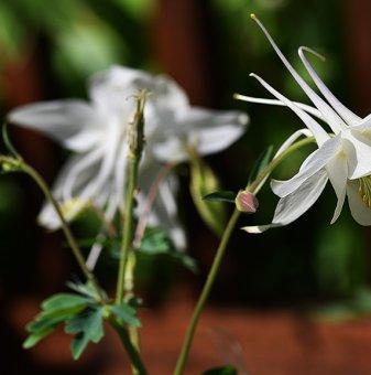 Кандилка - Аквилегия Бяла /Aquilegia vul. white Barlow/..