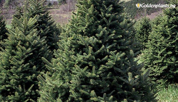 Снимка Ела Фрейзър - Коледно дръвче 30-40см. /Abies fraseri/
