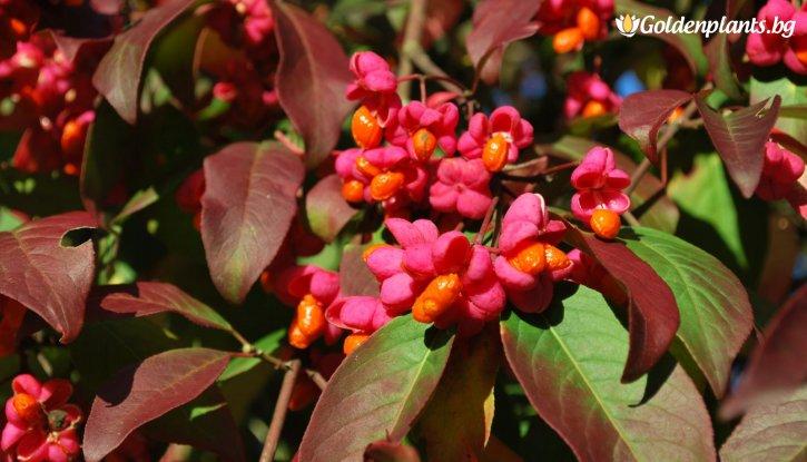 Снимка Евонимус Червена Каскада /Euonymus europaeus Red Cascade/