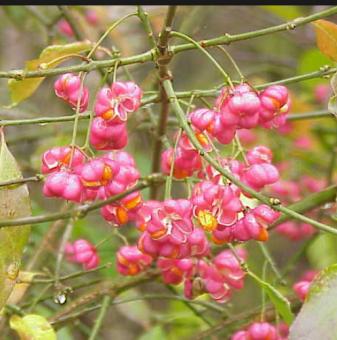Евонимус Червена Каскада /Euonymus europaeus Red Cascade/ ..