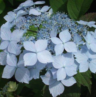 Хортензия Синя Палуба /Hydrangea Blue Deckle/