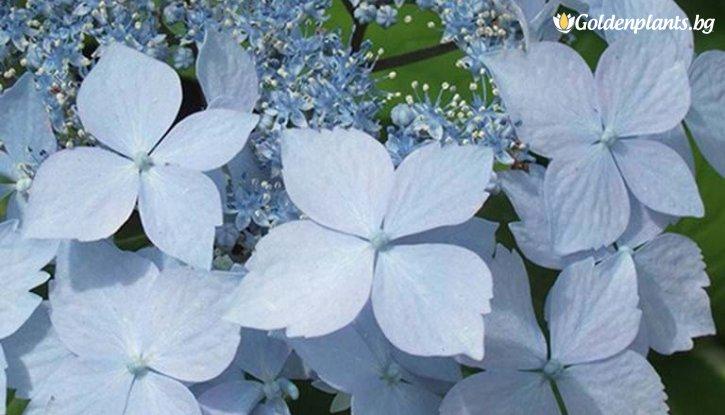 Снимка Хортензия Синя Палуба /Hydrangea Blue Deckle/