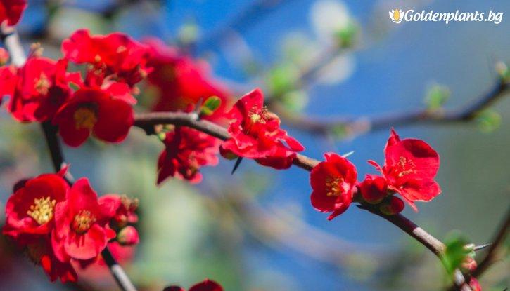Снимка Японска дюля Червена опашка / Chaenomeles Red Trail /