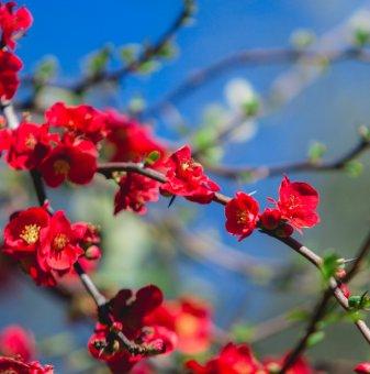 Японска дюля Червена опашка / Chaenomeles Red Trail /...