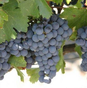 Лоза Шевка - червен винен късен сорт