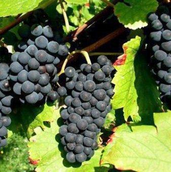Лоза Сторгозия - червен винен късен сорт