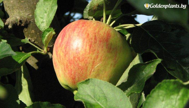 Снимка Ябълка сорт Молиз Делишес /Apple Molis Delicious/