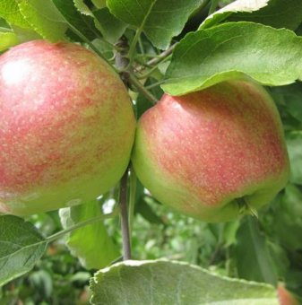 Ябълка сорт Молиз Делишес /Apple Molis Delicious/