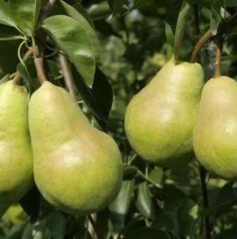 Круша сорт Вилямова Масловка / Pear William /
