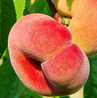 Праскова сорт Испанска плоска /Peach Spanish/