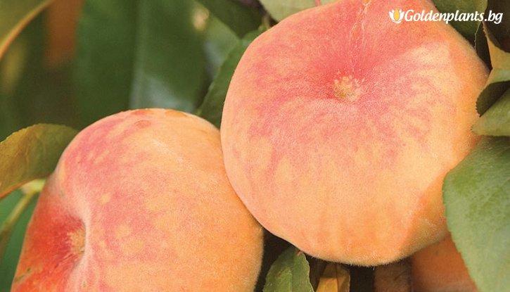 Снимка Праскова сорт Испанска плоска /Peach Spanish/
