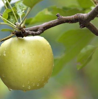 Ябълка сорт Муцу /Apple Mutsu/
