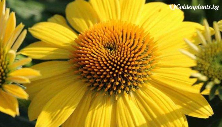 Снимка Ехинацея жълта /Echinacea Purpurea Yellow/