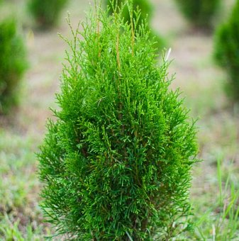 Западна туя malonyana 10-15см /Thuja Occidentalis malonyana /..