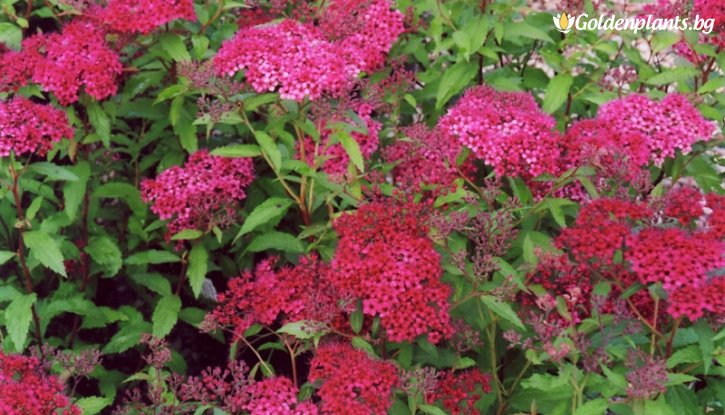 Снимка Японска спирея Dart's Red /Spiraea japonica Dart's Red/