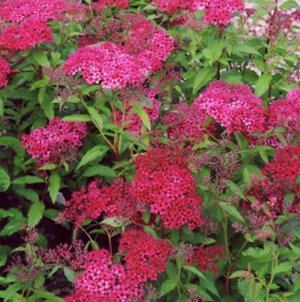 Японска спирея Dart's Red /Spiraea japonica Dart's Red/..