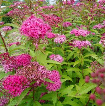 Японска спирея Anthony Waterer /Spiraea japonica Anthony Waterer/..