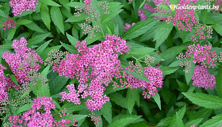 Снимка Японска спирея Anthony Waterer /Spiraea japonica Anthony Waterer/