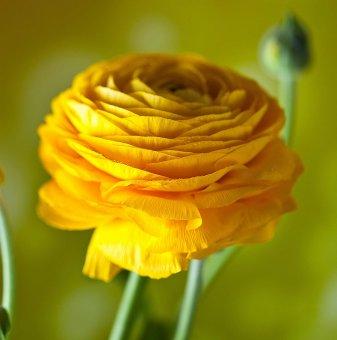 Лютиче Жълто /Ranunculus yellow/