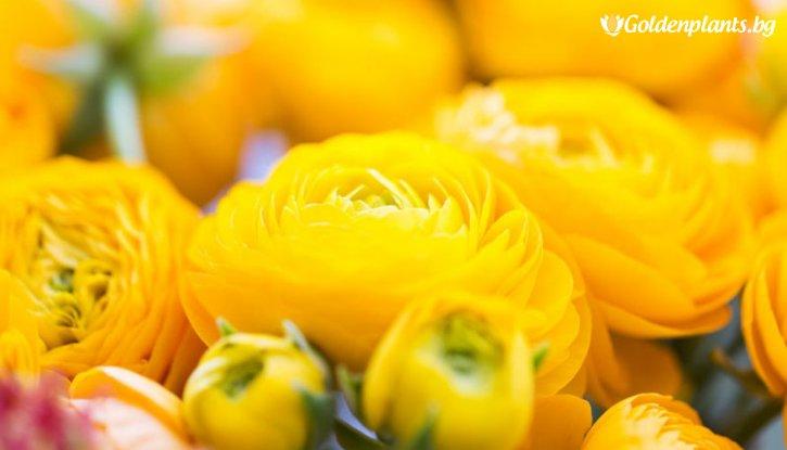 Снимка Лютиче Жълто /Ranunculus yellow/