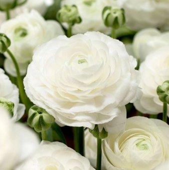Лютиче Бяло /Ranunculus white/