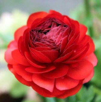 Лютиче Червено /Ranunculus red/