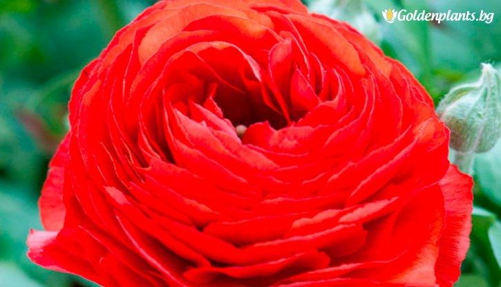 Снимка Лютиче Червено /Ranunculus red/