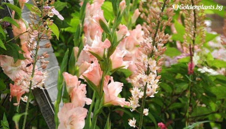 Снимка Гладиола Върховно розово / Gladioli Rose Supreme /