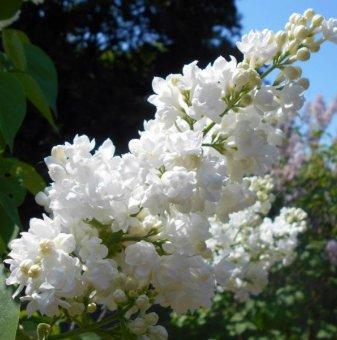 Люляк Мис Елен Уилмот / Syringa vulgaris miss ellen willmott /..