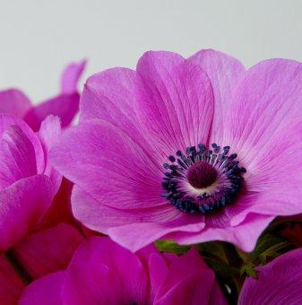 Анемоне Силфиде Розов / Anemone Sylphide de Caen Pink /..