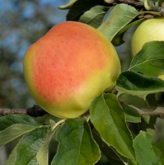 Ябълка Голден Ориндж /Apple GOLDEN ORANGE/