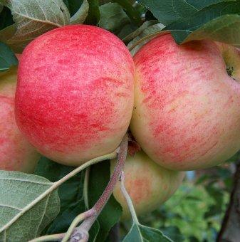 Ябълка сорт Брина