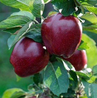 Ябълка сорт Ред Чиф /Apple Red Chief/