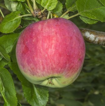 Ябълка сорт Виста Бела /Apple Vista Bella/