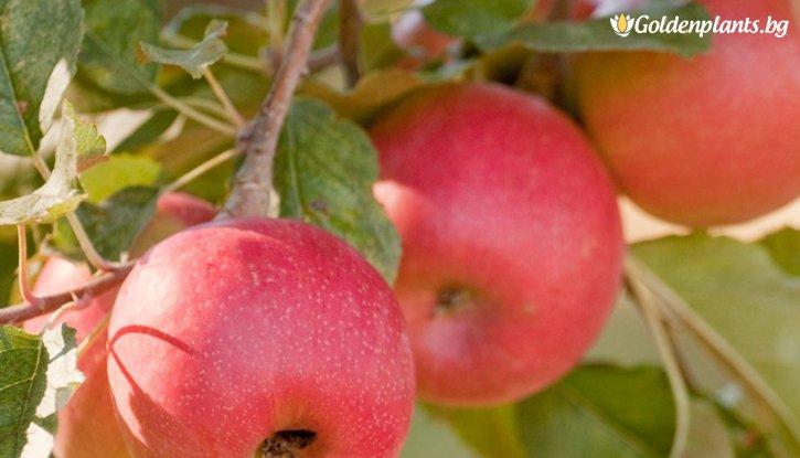 Снимка Ябълка сорт Пинк Лейди /Apple Pink Lady/
