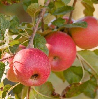Ябълка сорт Пинк Лейди /Apple Pink Lady/