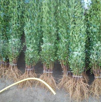 10бр. Вечнозелен Лигуструм 40-80 см /Ligustrum Ovalifolium/ на гол корен за 7.99лв...