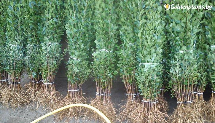 Снимка 10бр. Вечнозелен Лигуструм 40-80 см /Ligustrum Ovalifolium/ на гол корен за 7.99лв.