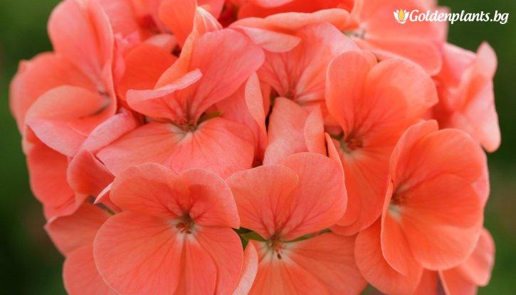 Снимка Мушкато цвят Сьомга /Pelargonium/