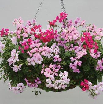 Алпийски Сакъз смесица /Pelargonium peltatum summer rain/..