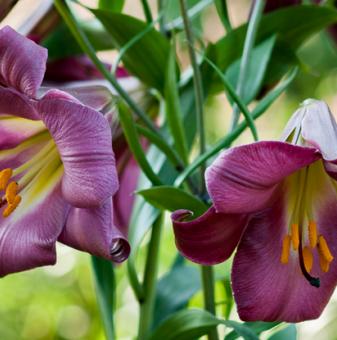 Лилиум Перфектно розов /Lilies Pink Perfection/