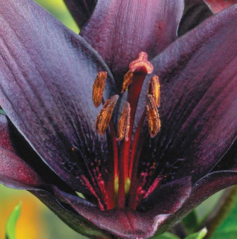 Лилиум Черен чар / Lilies Black charm /...