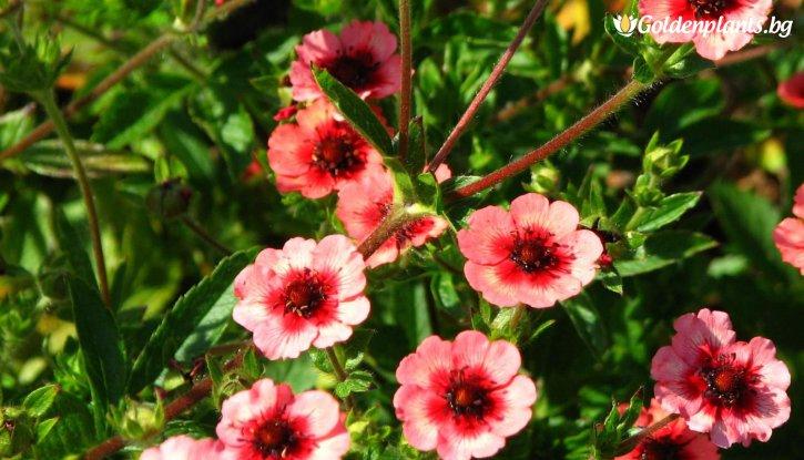 Снимка Потентила Мис Уилмот /Potentilla nepalensis miss willmott/